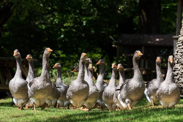 Grey foie gras geese